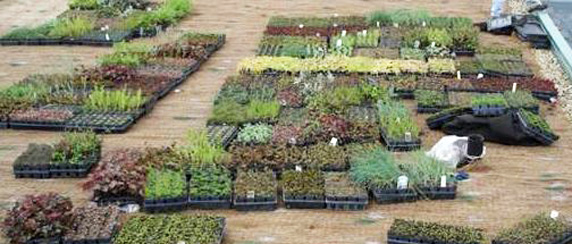 Small nursery grown plants from Green Roof Solutions, available in a variety of species, including sedum varieties like Sedum spurium.