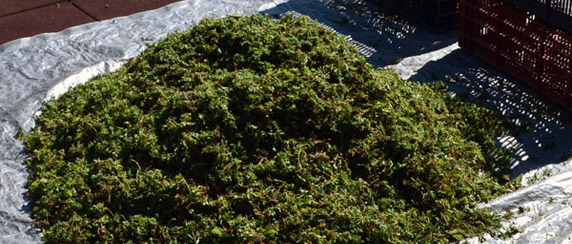 Green Roof Solutions cuttings of sedum, a perennial plant for rooftop gardens. Plant varieties including shade loving plants and flowers.