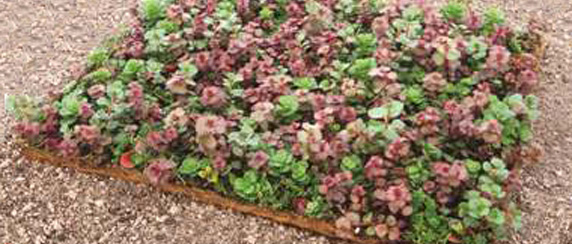 Green Roof Solutions vegetated mats of mature plants for roof gardens. Plants varieties include Sedum angelina and perennial flowers.